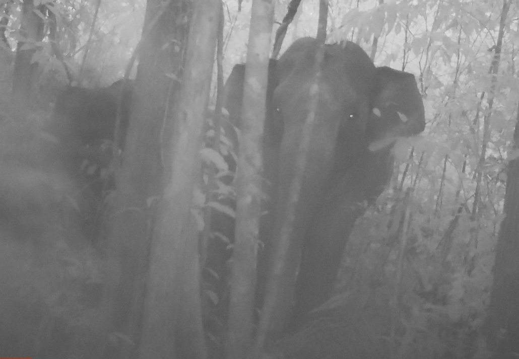 afp. hét képei - Kambodzsa, 2015. - ritka elefántcsorda, - This frame grab from video taken in July, 2015 and released by Conservation International to AFP on January 14, 2016 shows rare footage of an elephant herd roaming through Cambodia's biggest fores